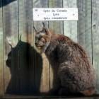 zoo1-lynx1