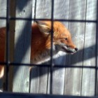 zoo6-renard1