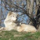 zoo9-loup1